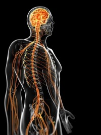 Human nervous system. Can modern security protect a cyborg? (Licensed by 123rf.com)